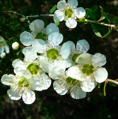 My favourite, one of a huge variety of Tea Tree: Leptospermum polygalifolium: Yellow Tea Tree