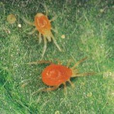 Паутинный клещ - злейший враг комнатных растений