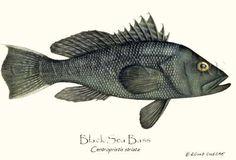 Sustainability- Black Sea Bass sustainable fish illustration, 9x12 print $19.95