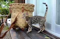 Kitty Cats, Cats And Kittens, Cat Party, Bengal, Neko, Scenery, Pictures, Gatos, Photos