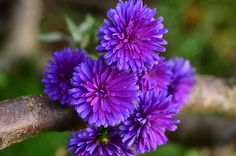 Aster by Hoang Duong on 500px
