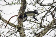 168 - Mono Red-Tailed o Cola Roja saltando - parque nacional Queen Elizabeth - Uganda
