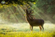 Stag Deer, Red Deer, Deer Art, Beautiful Creatures, Animals Beautiful, Beautiful Images, Beautiful Things, Animal Photography, Amazing Photography