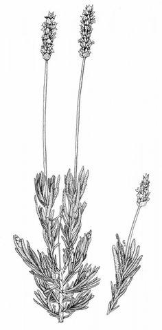 Ilustración botánica cortesía de Cristina Losa Araújo, paisajista.