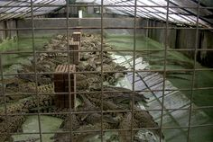 An alligator farm has been accused of using box knives to sever the spines of alligators for slaughter, putting them into ice baths while still alive, and allowing them to suffer unnecessarily. Tell their primary hide buyer to no longer purchase goods from a farm that condones cruelty to their alligators.