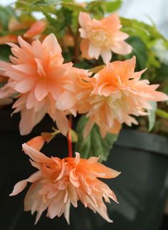 Begonia 'Orchid Orange': Begonia is a genus of perennial flowering plants in the family Begoniaceae. The genus contains 1,795 different plant species.