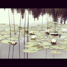 #Melhus #Onstjønna #norway #adressa #instamood #instaview #picofday #waterlilies #instagood #instahub #nature Norway, My Photos, Instagram Posts, Nature, Painting, Art, Art Background, Naturaleza, Painting Art