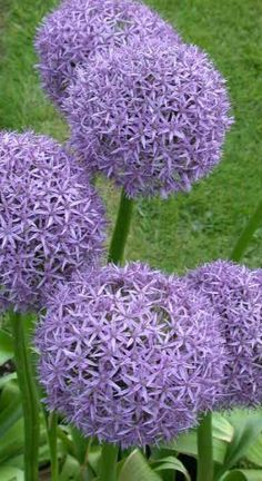 ALLIUM  - so not native but I might not be able to resist it in the drive mixed with grasses
