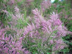 Tamarisk | Invasive Species Council of British Columbia | ISCBC Plants & Animals