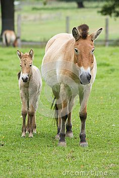 The Przewalski horse, also Takhi, Asian wild horse or Mongolian wild horse called, is the only subspecies of the wild horse which
