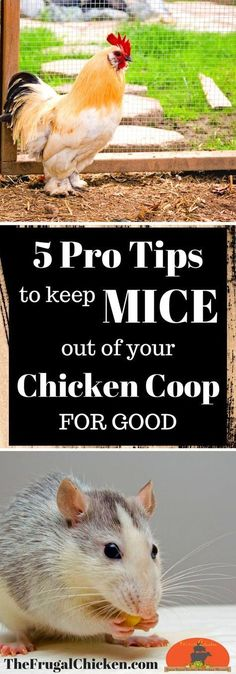 Chicken Coop - Mice in your chicken coop can cause all kinds of health and sanitary issues - not to mention freeloading off your flocks feed! Heres 5 pro tips you can use TODAY to keep the mice at bay! Building a chicken coop does not have to be tricky nor does it have to set you back a ton of scratch.