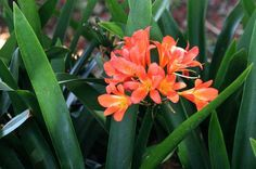 Clivia miniata-- south African bulb-- little to no water in summer.  Part to full shade.  In front of new hedge?   Yellow varieties would work in front of courtyard fence/ in low water courtyard areas.