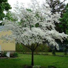 OnlinePlantCenter 5 gal. 4 ft. Cherokee Princess White Dogwood Tree-C4170G5 - The Home Depot