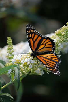 Monarch butterfly. I know this isn't an animal, but I LOVE butterflies. When I see them I know I am loved (: