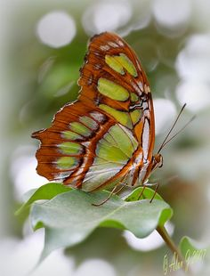 ~~Malachite by alanj2007~~Malachite (Siproeta stelenes)  The striking Malachite butterfly beginning as horned, prickly black caterpillars with red markings, the Malachite turns into a lime green chrysalis spotted with pink and eventually evolves into a stunning adult butterfly.