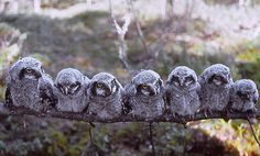 I feel your name, coursing through my veins - fairy-wren: hawk owl's nestlings (photo by...