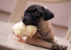 Pug and chick
