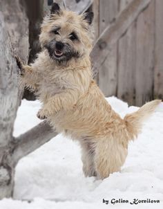 "Cairn Terrier photo <div class=""pinSocialMeta""> <a class=""socialItem"" href=""/pin/389631805233677366/repins/""> <em class=""repinIconSmall""></em> <em class=""socialMetaCount repinCountSmall""> 230 </em> </a> <a class=""socialItem likes"" href=""/pin/389631805233677366/likes/""> <em class=""likeIconSmall""></em> <em class=""socialMetaCount likeCountSmall""> 25 </em> </a>"
