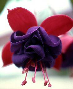 Bleeding heart purple