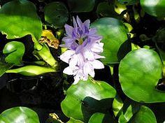 Planta aquática Eichhornia crassipes, Baroneza, Camalote, Jacinto-dágua, Murumuru, Mururé, Pareci, Pavoa, Rainha-dos-lagos