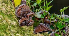 http://ift.tt/2p99xcf | Jelly ear fungus (Auricularia auricula-judae) | Aka wood ear Jew's ear. Growing on elder (Sambucus nigra) with epiphytic ivy (Hedera helix).  Coed Cefn Coed Cadw (Woodland Trust) Reserve Crickhowell Powys  Wales UK.