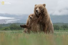 Photo and caption by Aaron Baggenstos / 2016 National Geographic Nature Photographer of the Year   Brown Bears, Katmai National Park, Alaska