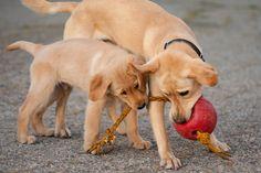 Yavru ve genç köpekler için geliştirilmiş Profine kuzulu ve patatesli kuru mama, Mamaland'de...   http://www.mamaland.com.tr/profine-yavru-ve-genc-kopekler-icin-dogal-kuzulu-patatesli-mama-kg-