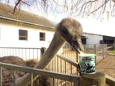 Kuku the resident at Fairview ostrich also seems to have taken a liking to our New yoghurt. One more follower of the full fat revolution! For more info on this delicious healthy snack visit: www.fairview.co.za/fairview-launches-revolutionary-natural-yoghurt/ #FairviewFamily #FairviewYoghurt Yummy Healthy Snacks, Revolution, Fat, Natural, Revolutions, Nature, Au Natural