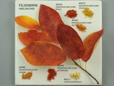 Amelanchier and Pigments - Kremer Pigmente GmbH & Co. (pictures were taken by Monika Titelius in 2008)