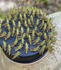 Baby grasshoppers...