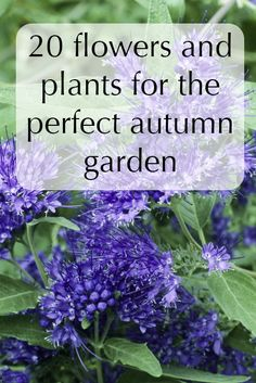 These flower and plant varieties will keep your garden full of life and colour throughout autumn. From caryopteris to Chinese lanterns, they'll bring the colours and textures of autumn to your doorstep.