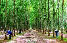 Rubber tree - Rubber Vietnam