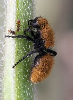 Velvet Wasp - also called the Velvet ant female, probably Dasymutilla vestita. Cool Insects, Bugs And Insects, Serpent Venimeux, Bees And Wasps, A Bug's Life, Beautiful Bugs, Chenille, Reptiles And Amphibians, Nature Animals