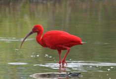 The Scarlet ibis (Eudocimus ruber) is a species of ibis in the bird family Threskiornithidae. It inhabits tropical South America and islands of the Caribbean. In form it resembles most of the other twenty-seven extant species of ibis, but its remarkably brilliant scarlet coloration makes it unmistakable.