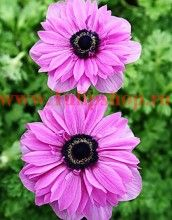 Pink flowers - Anemone coronaria 'The Admiral' All Flowers, Purple Flowers, Pretty Flowers, Plants, Beautiful Flowers Garden, Amazing Flowers, Beautiful Flowers, Anemone, Love Flowers