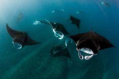 Manta rays, Ningaloo Reef, Australia Photo: BLUE Media Exmouth