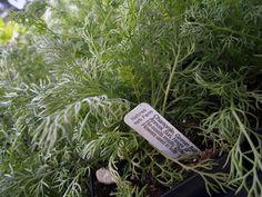 Lots of fresh herbs this week- chamomile, lemon balm, italian oregano, peppermint and calendula!
