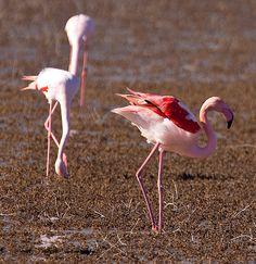 Flamingos in the Camargue... Provence. #Camargue #field #champs #france #south #tourism #tourismepaca #pink #provencal #flamingo