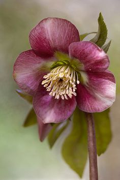 Hellebore | Flickr - Photo Sharing!