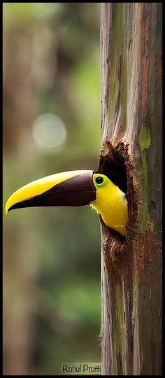 PEEK-A-BOO y castaña Mandibled Tucán - Costa Rica amarillo colorido tucán Mandibiled