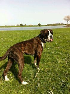 Beautiful Boxer dog Storm #BoxerDog