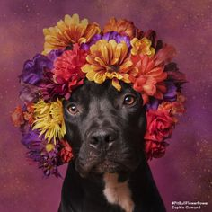 """Sophie Gamand, the amazing French photographer whose images of dogs are probably already beautifying your Instagram, has a new series that's sure to make your heart swell. The series, called """"Pit Bull Flower Power,"""" is working to help rescue pit bulls get adopted by showing them in a different, more positive light. Between 800,000 and 1 million pit bull-type dogs are euthanized in the U.S. each year; if that number doesn't shock you, it should! That's almost 2,800 dogs killed every day, just..."""