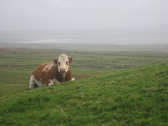 Irish cow near Cliffs of Moher, Co. Clare, Ireland. (Photo by author).