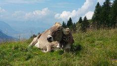 Kuh auf dem Spirstock #Spirstock #Hochybrig #kuh #wandern