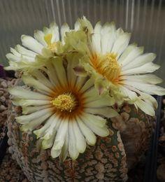 Astrophytum supercabuto