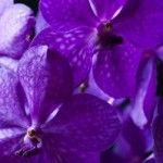 Orchidée Vanda, description et soins spécifiques Plants, Flowers, Garden, Purple