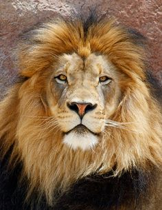 Izu the lion Funny Panda Pictures, Lion Pictures, Lion And Lioness, Lion Of Judah, Most Beautiful Animals, Majestic Animals, Lion Tattoo Sleeves, Lions Photos, Lion Images