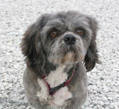 Waldo's Muttley Crew in #Indianapolis, #Indiana -- Chandler is a sweetheart! He's a 4 year old peke-tzu (pekingese/shih tzu) who weighs about 18 lbs. What a great little guy he is! He's wonderful with the other dogs and friendly & affectionate with people as well. Quiet little guy - I've yet to hear...