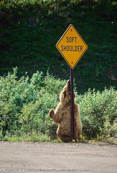 Grizzly bear scratches back and shoulders on a soft shoulder roadsign in Denali National Park.