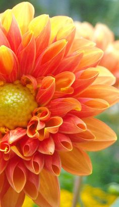 Dahlia flower, 35 best flower photos